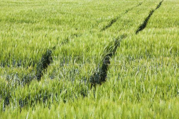 Tarım alan büyümek yukarı tahıl yeşil Stok fotoğraf © avq