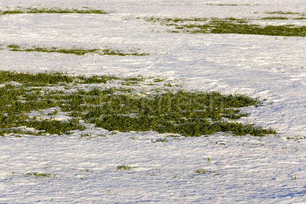 зима пшеницы первый весны природы лист Сток-фото © avq