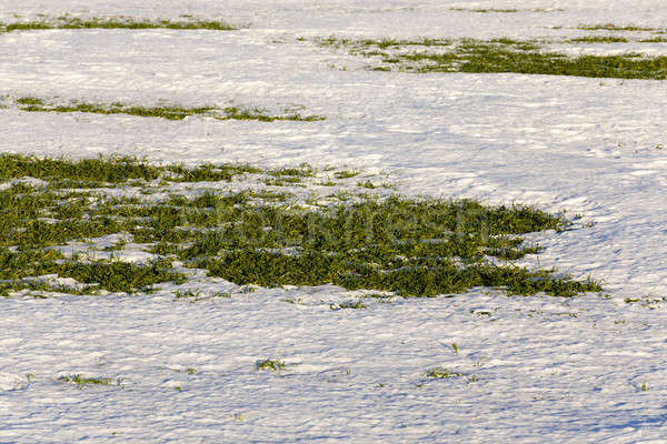 sprouts of winter wheat  Stock photo © avq