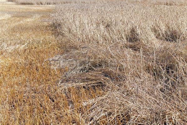 Vernietigd granen weer landbouw klein industrie Stockfoto © avq