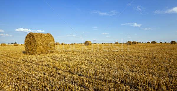 Rolniczy dziedzinie rosną w górę zbiorów pszenicy Zdjęcia stock © avq