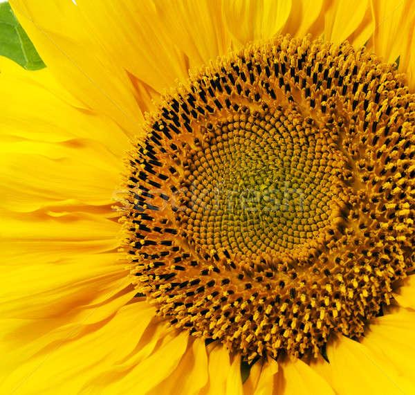 yellow sunflower   Stock photo © avq
