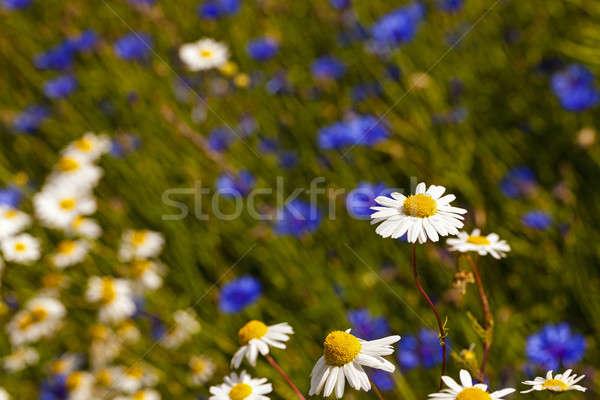 Kwiaty biały rodziny trawy charakter Zdjęcia stock © avq