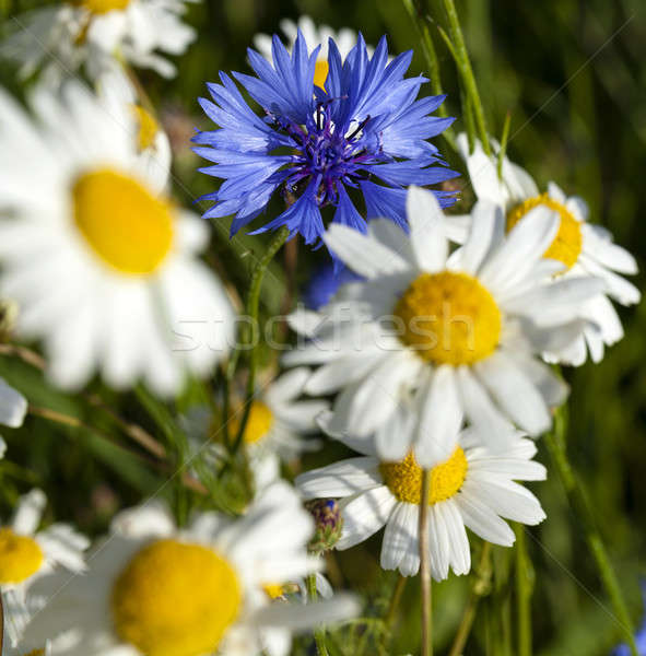 chamomile flowers and one flower cornflower   Stock photo © avq