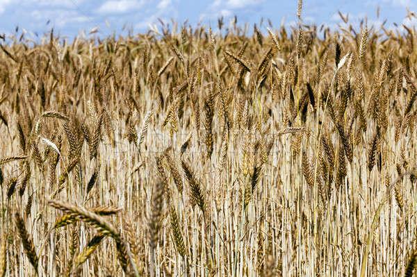 Сток-фото: злаки · ушки · лет · пшеницы · кукурузы