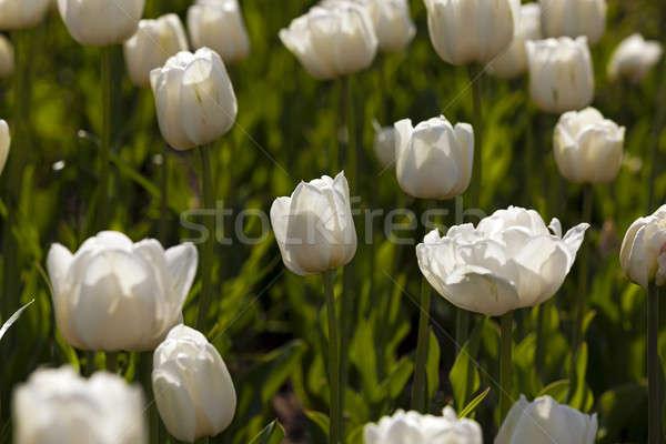 Fehér tulipánok virágágy nő közelkép virágok Stock fotó © avq