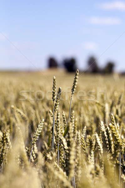 Farm mező gabonafélék mezőgazdasági nő felfelé Stock fotó © avq