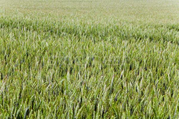 green cereals , spring Stock photo © avq