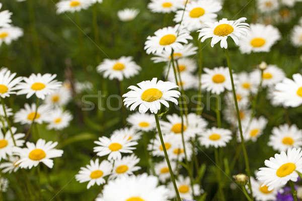 Kamilla virág mező nyár tavasz természet Stock fotó © avq