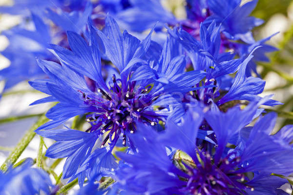 василек синий цвета области голову Сток-фото © avq