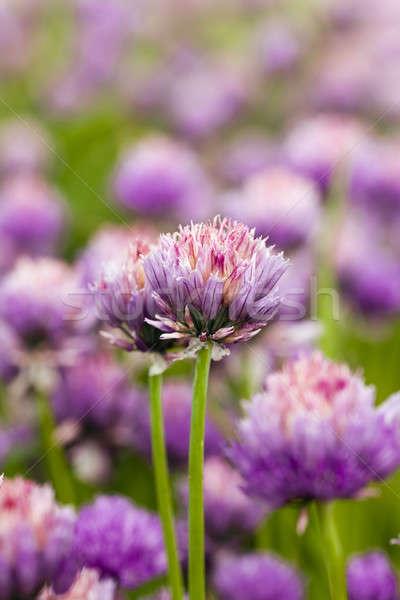 Sarımsak çiçek doğa bahçe tıp Stok fotoğraf © avq