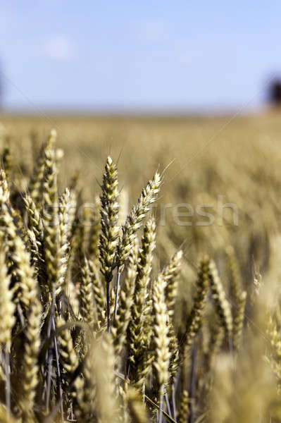 unripe ears of wheat Stock photo © avq
