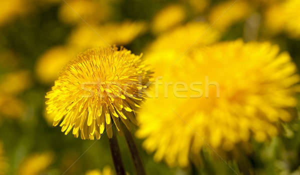 dandelion   Stock photo © avq