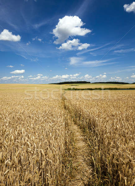 footpath in the field   Stock photo © avq
