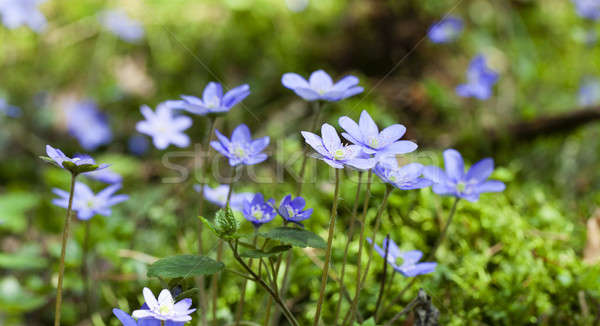 Bahar çiçekleri bir ilk çiçek doğa Stok fotoğraf © avq