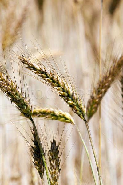 Tahıl kulaklar meyve alan grup Stok fotoğraf © avq