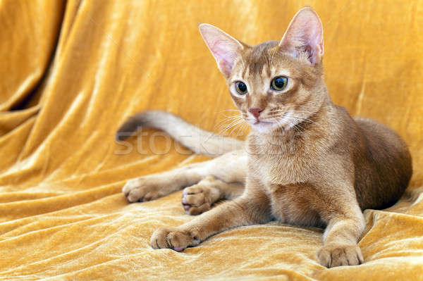 Macska felnőtt közelkép szem haj piros Stock fotó © avq