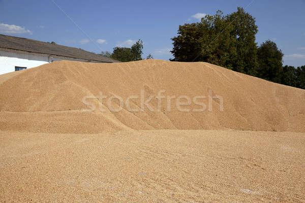 Büyük tahıl buğday hasat katlanmış Stok fotoğraf © avq