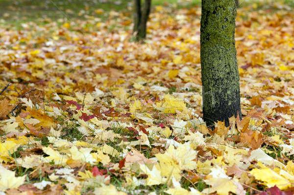 fallen leaves   Stock photo © avq