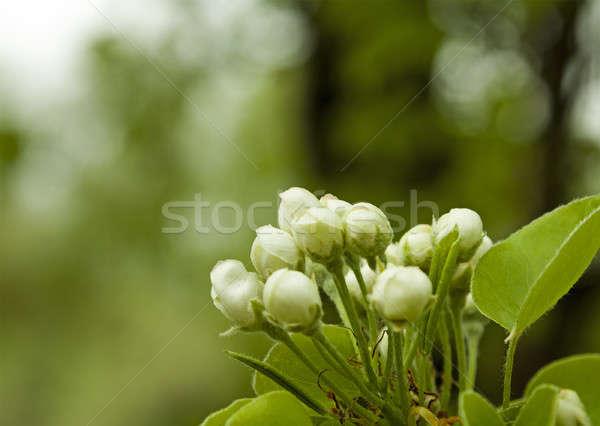 Almafa virág virágok kicsi fa alma Stock fotó © avq