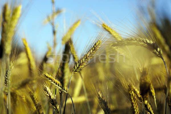 Niedojrzały zielona trawa lata Błękitne niebo żywności charakter Zdjęcia stock © avq
