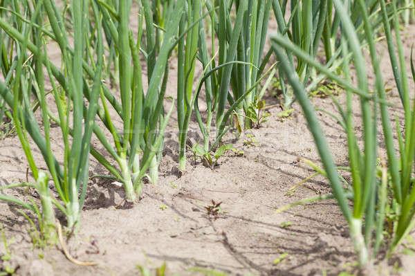 Levelek póréhagyma zöld fiatal növekvő föld Stock fotó © avq
