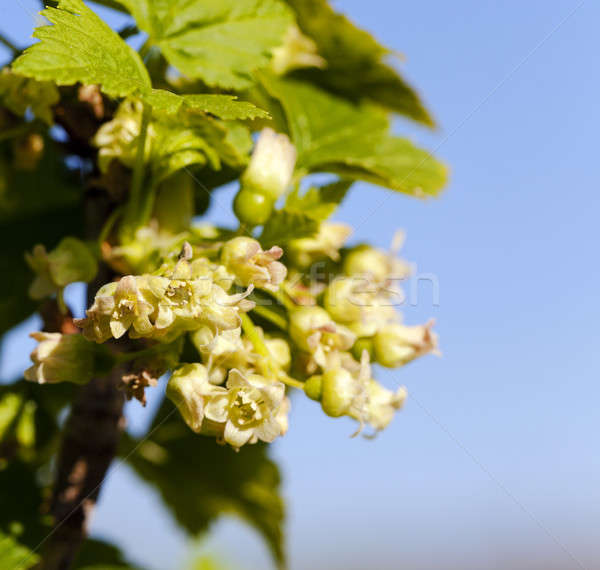 Stock photo: blossoming of blackcurrant