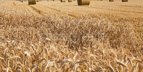 agricultural field  Stock photo © avq