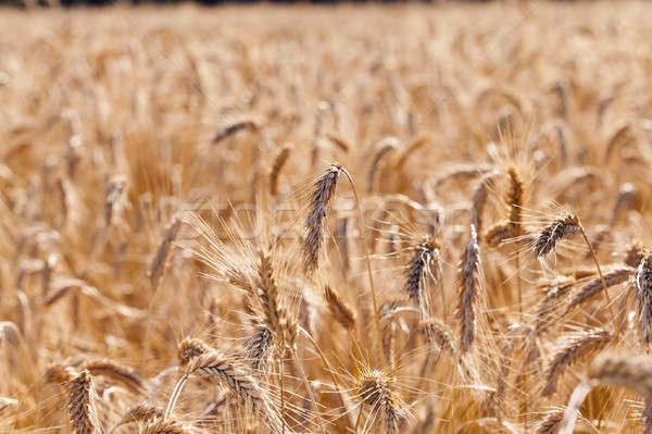 the ripened cereals   Stock photo © avq