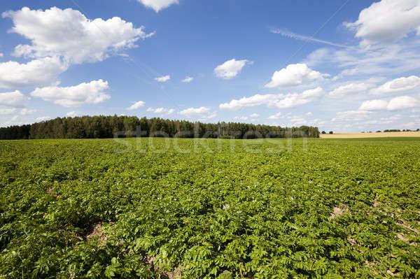 Patates alan tarım büyümek yukarı patates Stok fotoğraf © avq