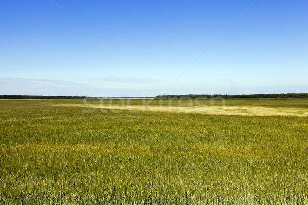 Niedojrzały zielona trawa trawy zielone Błękitne niebo Zdjęcia stock © avq