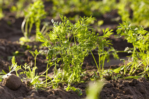 морковь зеленый небольшой природы лет Сток-фото © avq