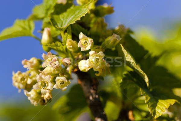 çiçekler küçük doğa yaprak Stok fotoğraf © avq