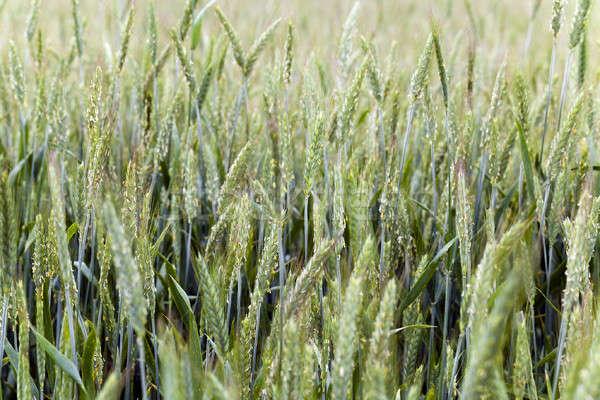 Niedojrzały zboża pszenicy wiosną sezon Zdjęcia stock © avq