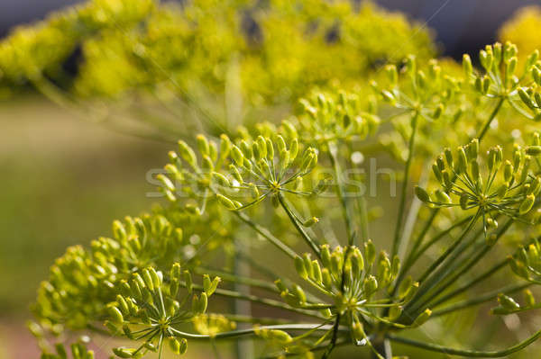 inflorescence dill Horticultural   Stock photo © avq