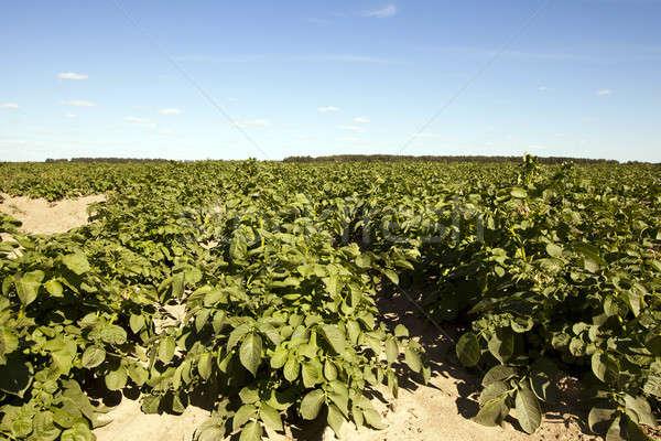 Rolnictwa ziemniaczanej dziedzinie rolniczy zielone ziemniaki Zdjęcia stock © avq