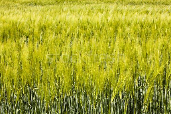 Mezőgazdasági mező nő felfelé gabonafélék zöld Stock fotó © avq