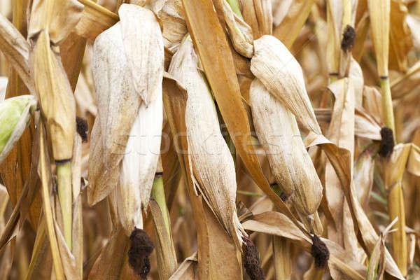 Stock photo: ripe corn, autumn