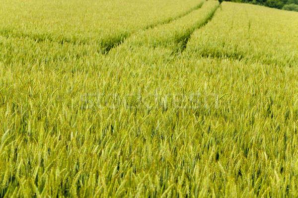 flowering stalks of wheat Stock photo © avq