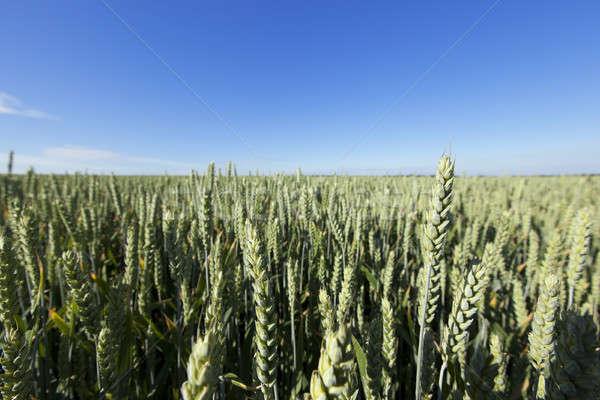 Agricole domaine blé immature vert Photo stock © avq