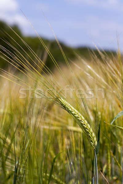 Kulaklar çavdar yeşil mavi gökyüzü doğa Stok fotoğraf © avq