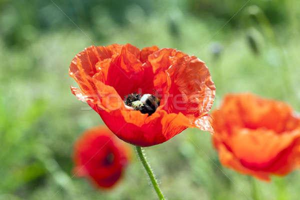 red poppies. summer Stock photo © avq
