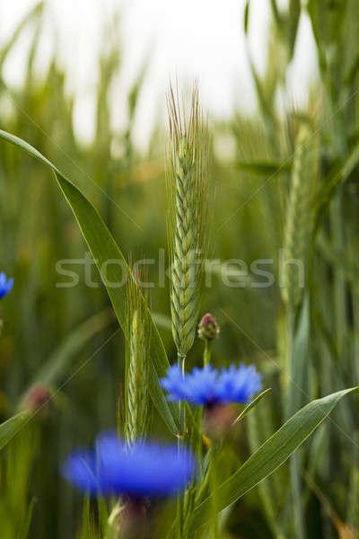 Zielone pszenicy trawy charakter świetle Zdjęcia stock © avq