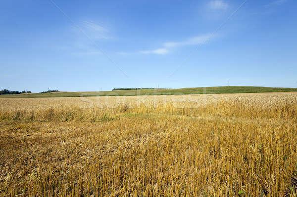 Cięcia pszenicy pole pszenicy zbiorów Błękitne niebo żywności Zdjęcia stock © avq