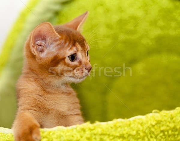 Stok fotoğraf: Kedi · yavrusu · küçük · bebek · doğa · kedi