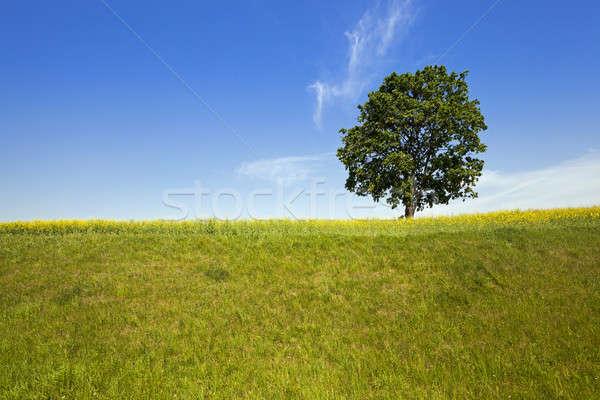 Ağaç alan huş ağacı büyüyen büyümek yukarı Stok fotoğraf © avq