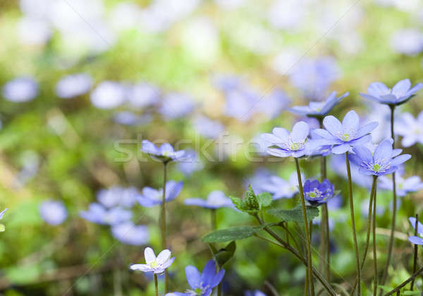 весенние цветы один первый цветок природы Сток-фото © avq