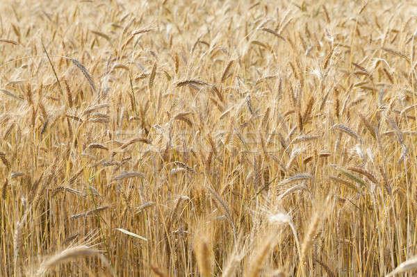 Zboża kłosie lata pszenicy roślin Zdjęcia stock © avq