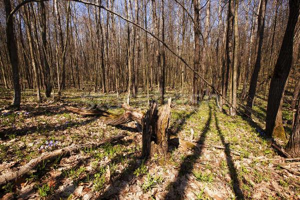 весны древесины первый весенние цветы лес солнце Сток-фото © avq