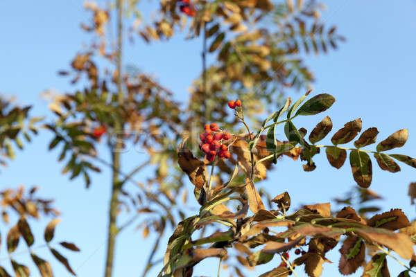 rowan tree in autumn Stock photo © avq
